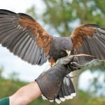 Tweed a female Harris Hawk