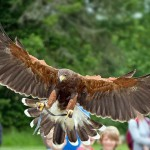 Richard - male Harris Hawk